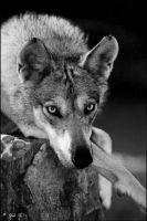 canis lupus pallipes 2 by Yair-Leibovich