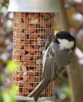Coal Tit by Helens-Serendipity
