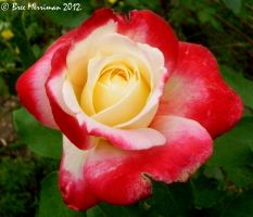 Double Delight Rose II by BreeSpawn