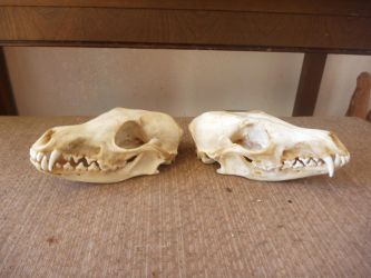 Fox Skulls FOR SALE by Tricksters-Taxidermy