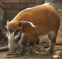 I'm a wild hog from the Congo ... by mbeki
