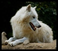 happy wolf by morho