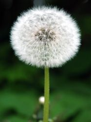 Dandelion by LucieG-Stock