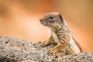 The Barbary Ground Squirrel by BlackSunRising
