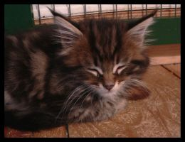 Maine Coon kitten XIII by LanimilbuSx