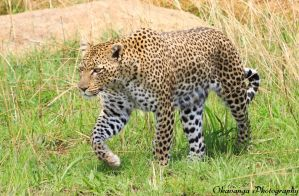 Kopje Leopard on the Move by Okavanga