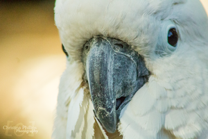Sulphur-crested Cockatoo-5479 by Christina-Phillips