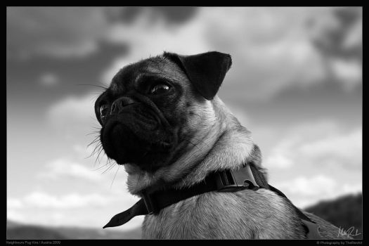 Kira Pug BW Portrait by TheRenART
