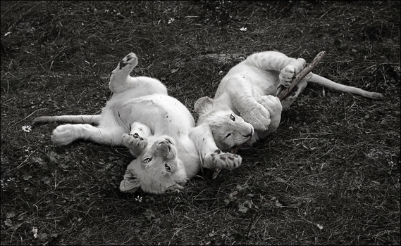 White lion cubs playing by chipset