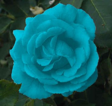 Blue Rose by Penmage279
