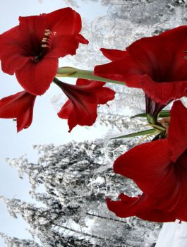 red and white .. .. by KariLiimatainen