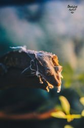 Leaf-Tailed Gecko by Hansnord