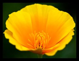California Poppy by justfrog