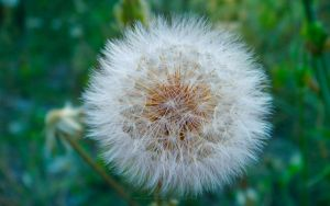 Dandelion Blowball by pinkquilldesign