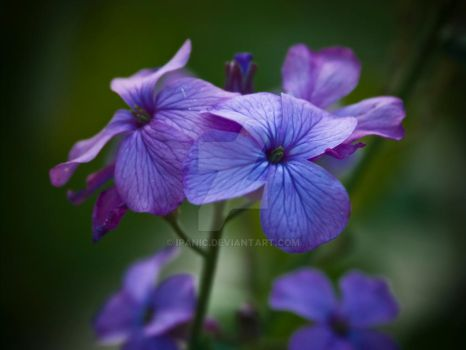 The colour purple by iPanic