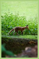 Fox Kit by Sharandra