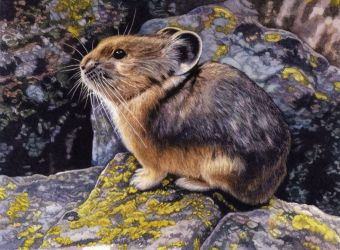 American Pika by WillemSvdMerwe
