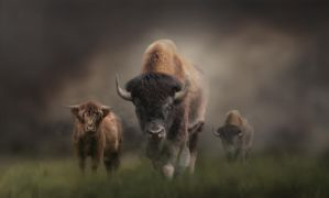 Bison by ChiaraLily9