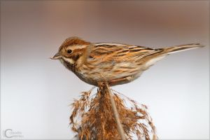 Reed Bunting by ClaudeG