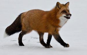 Red Fox II by White-Voodoo