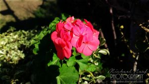 Red Flowers I by MichaelNN