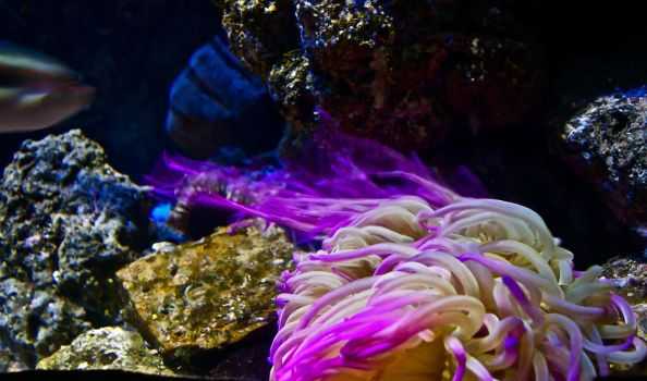 Sea anemone by rontz