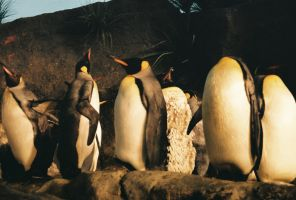 Penguins by SBB