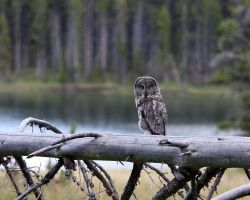 Yellowstone Owl by opticverve