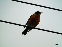 Robin resting Upon Wires by wolfwings1