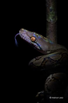Reticulated python by melvynyeo
