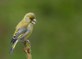 singing finch by MartinAmm