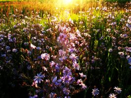 Field of Aster by holymacro