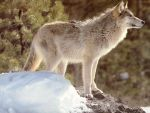 Wolf Wallpaper by Wolf-Lovers