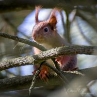 Eurasian Red Squirrel by OliverBPhotography