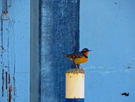Thrush Sitting on Post by wolfwings1