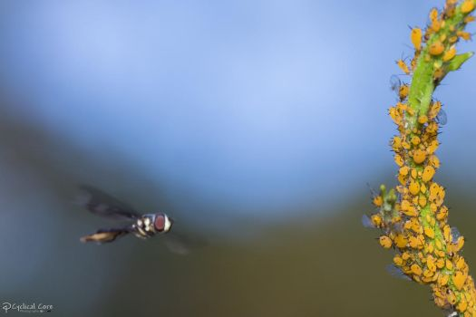Hoverfly and aphids by CyclicalCore