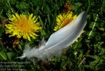 Feather between Dandelions... by AngelOfDarkness089
