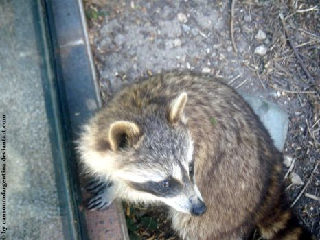 Racoon by Cansounofargentina