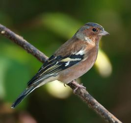 Common chaffinch by starykocur