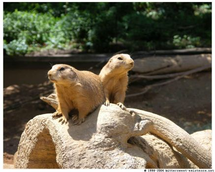Prairie Dogs by ransim