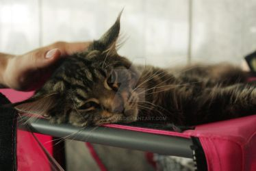 Cat Show, Novosibirsk, 23.06.2012 (2) by aka-Selva