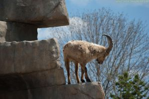 Mountain Goat : 03 by taeliac-stock