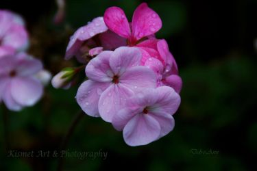 Pink Geraniums by Deb-e-ann