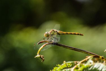 Dragonfly - Norfolk 20180815 5 by graphic-rusty