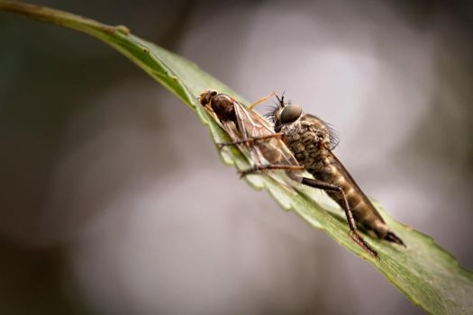 Robber Fly With Prey by MissFlykt