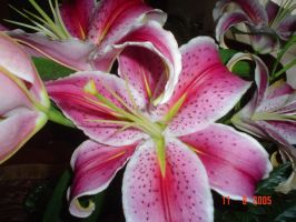 Lilium by PiccolaPoce