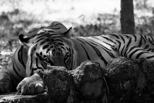 Eye of the Tiger by vraju17