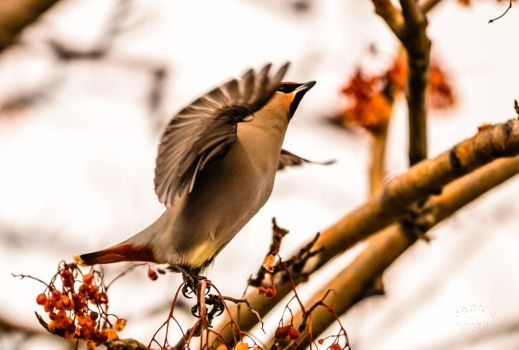 Bohemian Waxwing - Skybound by JestePhotography