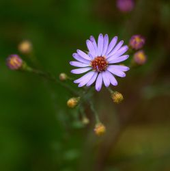 Smooth Aster by Ragnar949