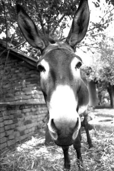 Donkey Bulgaria 2001 by wall-decal-shop
